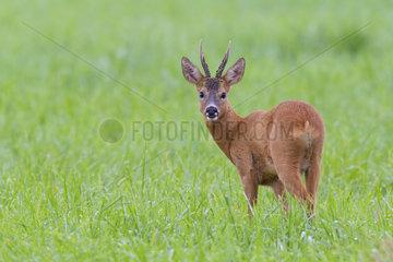 Western Roe Deer (Capreolus capreolus) in Summer  Roebuck  Hesse  Germany  Europe