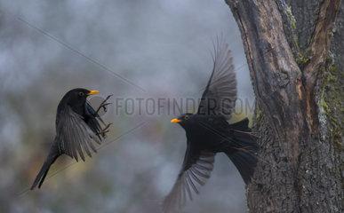 Fight between two Blackbirds (Turdus merula)  Regional Natural Park of the Vosges du Nord  France