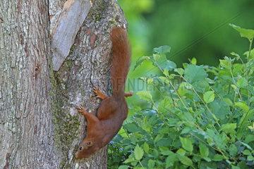Red squirrel (Sciurus vulgaris) on a trunk  Normandy  France