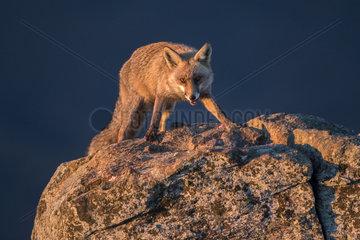 Red fox (Vulpes vulpes) on rock  Guadarrama National Park  Spain