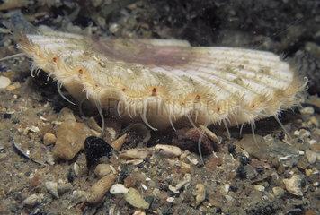 Great scallop - Atlantic Sea