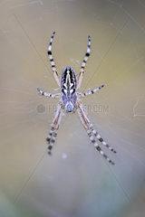 Orb-weaver spider (Aculepeira armida) on web  Madrid  Spain