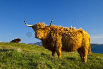 Highland cows - Lewis island Hebrides Scotland UK