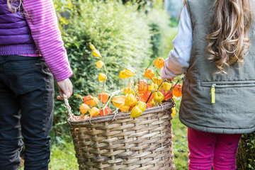 Young girls harvesting Physalis in a garden