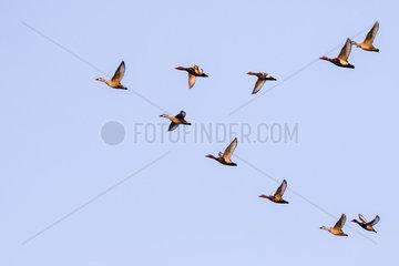 Eurasian wigeon  also known as widgeon or Eurasian widgeon (Anas penelope)  ducks in flight  Brahmapoutra  Assam state  India