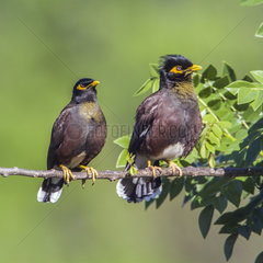 Common mynah (Acridotheres tristis) on a branch  Ella  Uva province  Sri Lanka