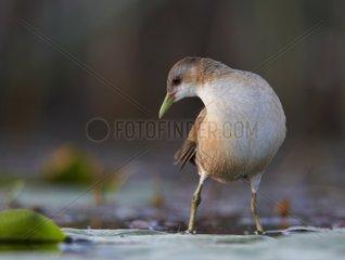 Little Crake female on water - Polvijaervi Finland
