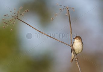 Marsh Warbler on umbel - Joensuu Finland