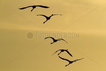 Flamingos in flight - Lake of the Imperial Camargue France