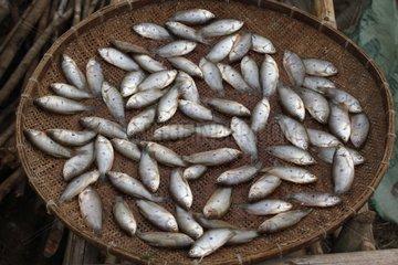 Freshwater fish drying in the sun - Laos