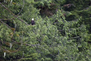 Bald Eagle (Haliaeetus leucocephalus) on a branch  Khutzeymateen Grizzly Bear Sanctuary  British Columbia  Canada
