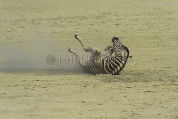 Burchell's zebra (Equus burchellii)  rolling on the ground in the Pan  Namibia  Etosha national Park