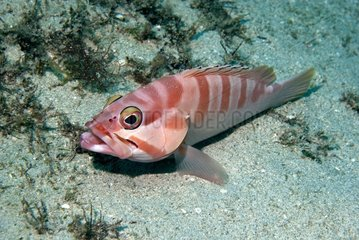 Blacktip grouper (Epinephelus fasciatus) on bottom  Flic-en-flac  Maurice island  Indian Ocean