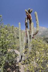 Tristeryx holoparasite of Cactus - La Campana Chile