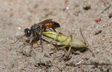 Tachysphex (Tachysphex pompiliformis) capturing a locust  Regional Natural Park of the Vosges du Nord  France