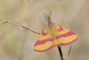 Purple-barred Yellow (Lythria cruentaria) male  Regional Natural Park of the Vosges du Nord  France