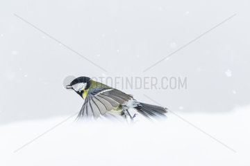 Great tit (Parus major) flying with a seed in winter  Alsace  France