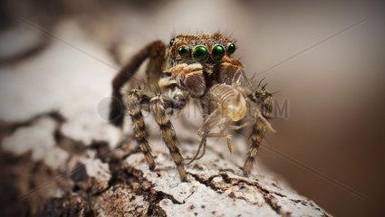 male Maratus maritimus peacock jumping spider