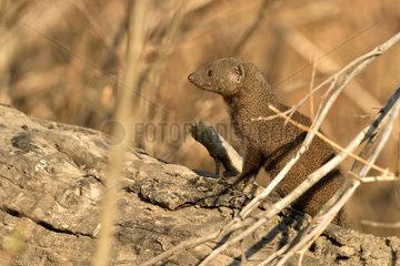 Yellow Mongoose in the savannah - Khwai Botswana