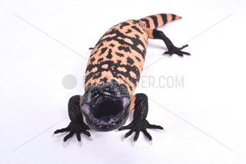 Banded gila monster (Heloderma suspectum cinctum) on white background