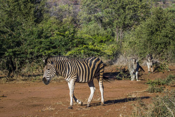 Burchell's zebra (Equus burchellii) walking in the savannah  Kruger  South Africa