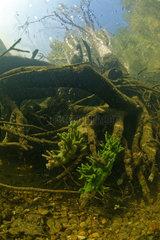 Freshwater sponge (Spongilla lacustris) in a branched form in the river Cher  Loir-et-Cher  France