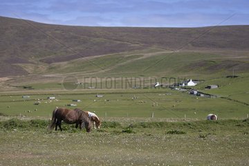 Shetland poney (Equs caballus) young Poney feeding in a meadow  Shetland  Spring