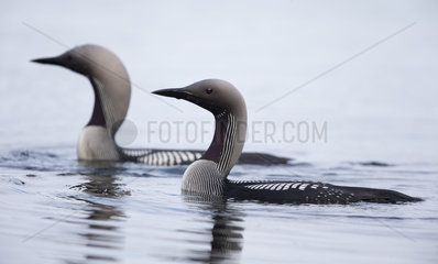 Black-throated Divers swimming in summer - Finland