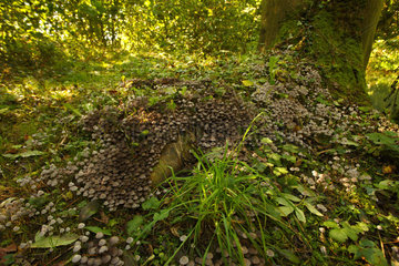 Trooping crumble caps (Coprinus disseminatus) growing in a colony at the foot of a tree in the undergrowth  in Septemeber  Picardy  France. Poisonous non-edible mushroom.