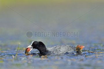 Coot abusing his young - Dombes France