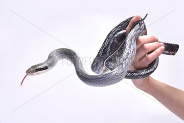 Blue beauty rat snake (Orthriophis taeniurus)