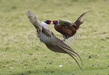 Pheasant (Phasianus colchicus) Pheasant fighting  England  Spring