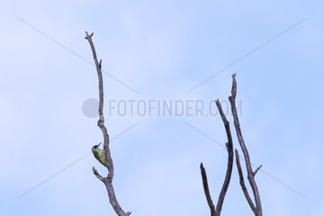 Green Woodpecker (Picus viridis) perched on a branch  Alsace  France