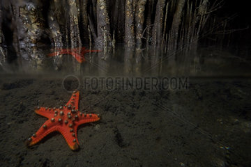 Gnarled large Sea Star (Proteaster nodosus) coral reef near mangrove  Bunaken Island  Sulawesi  Indonesia