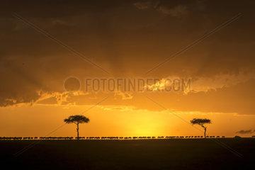 Wildebeest (Connochaetes taurinus)  herd of migration at sunset  Masai-Mara game reserve  Kenya