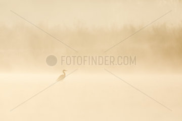 Grey Heron(Ardea cinerea) in the mist in the first sunlight  Ile du Rhin  Alsace  France