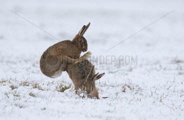 Brown Hares mating in the snow in winter - GB