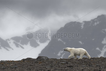 Polar bear (Ursus maritimus) walking on the mountain - Svalbard  Norway