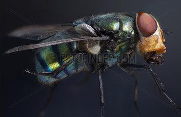 Blow Fly (Chrysomya sp) on black background