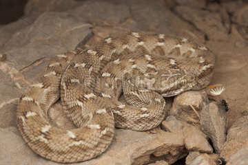 Saw-scaled viper (Echis carinatus) facing an ant carrying a dandelion seed  Sabzevar  Iran