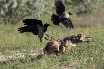 Golden jackal (Canis aureus) chasing Hooded crows (Corvus cornix)  Danube Delta  Romania