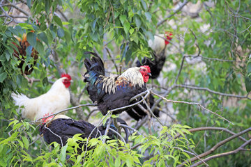 Domestic Roosters on branches - Lleida Spain