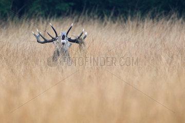 Red Deer (Cervus elaphus) Male belloing   Walloon Fens  Ardenne  Belgium