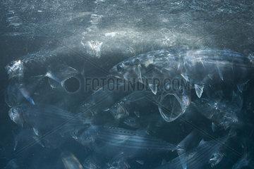 Indian Mackerel  Rastrelliger kanagurta  Striped Mackeral Fiji  South Pacific