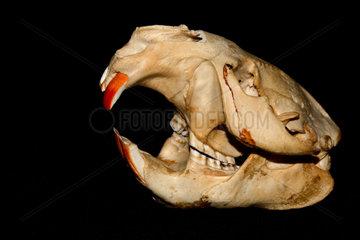 European beaver (Castor fiber) skull