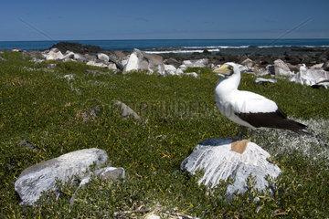 Masked booby on ground - Abrolhos Archipelago Brazil