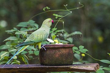 Rose-ringed Parakeet (Psittacula krameri) on a pot  Minneriya national park  Sri Lanka