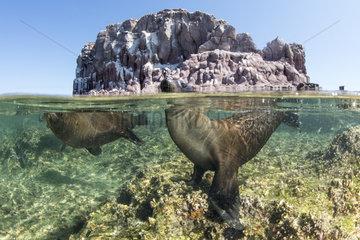 Couple of California sea lion  (Zalophus californianus) playing under the surface  Los Islotes  Sea of Cortez  Baja California  Mexico  East Pacific Ocean