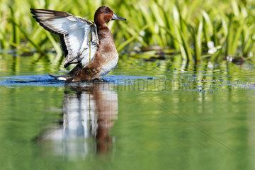 Ferruginous Duck snorting - Danube Delta Romania