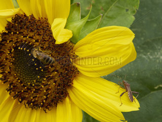 A bee gathering nectar from a sunflower. On the flowers  encounters with other insects are frequent as this western conifer seed bug.